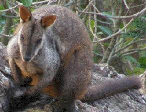 brushtaied rock-wallaby