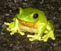 orange-eyed treefrog