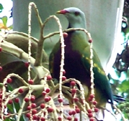 Wompoo Fruitdove eating bangalow palm fruits