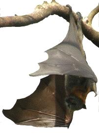 fruitbat unfolding wings