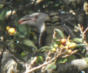 A channel-billed cuckoo eating native  figs