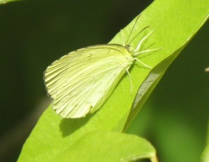 lemon migrant buttefly