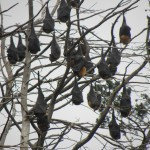 Grey headed flying foxes in the Botanic Gardens, Geelong