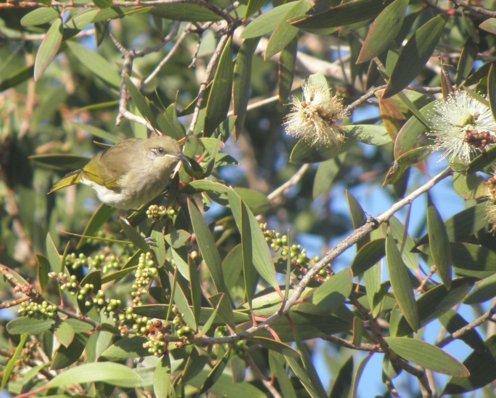 brown honeyeater visiting tea tree (Melaleuca) flowers