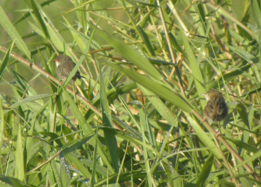 Two little brown birds: golden-headed cisticola and female of one of the blue fairy-wrens (superb or variegated: the males are easily distinguished but not the females). I don't think either of these deserted during the drought