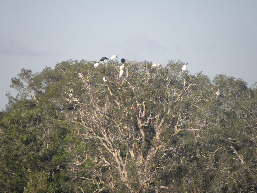 Royal spoonbills and two species of ibis rst in a tree by a lagoon