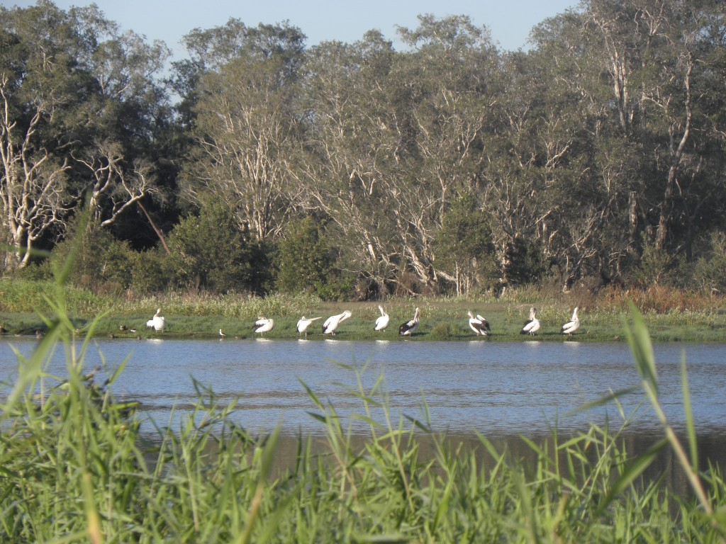 Flocks of pelicans have retturned, along with stilts, black swans, dotterells and others