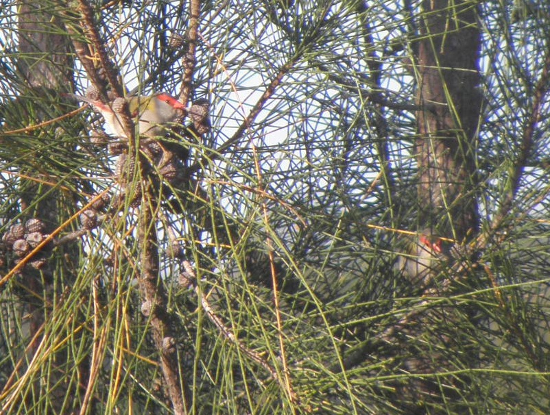 Red-browed finches in a sheoak
