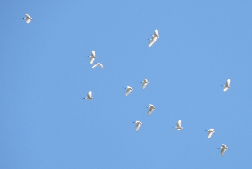 ok, nothing unusual about seeing white ibis near Brsbane, but they do look rather nice flying in a flock