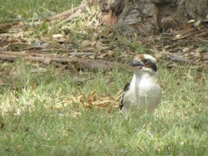 Laughing kookaburra, just after pouncing from above to catch an insect on the ground