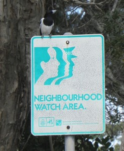 A pied butcherbird apparently helping to protect island residents