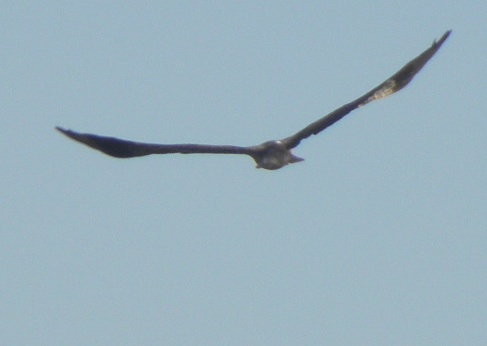 a whistling kite soaring over the wetland