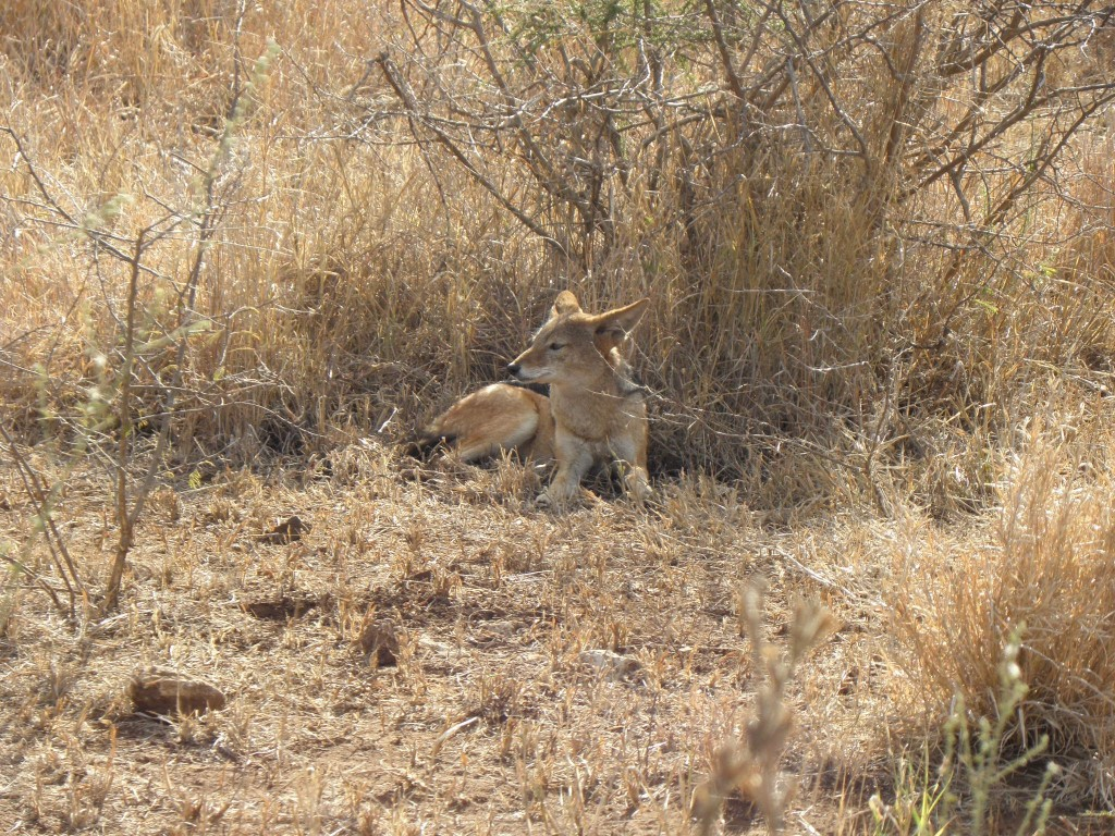 A black-backed jackal resting after feeding on a rhino carcass (I hope the rhino died of natural causes, not poaching)