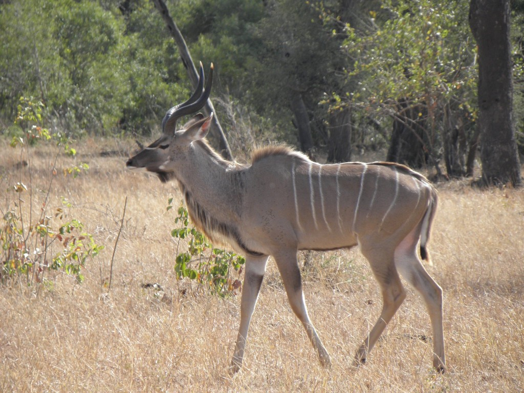 A handsome male kudu