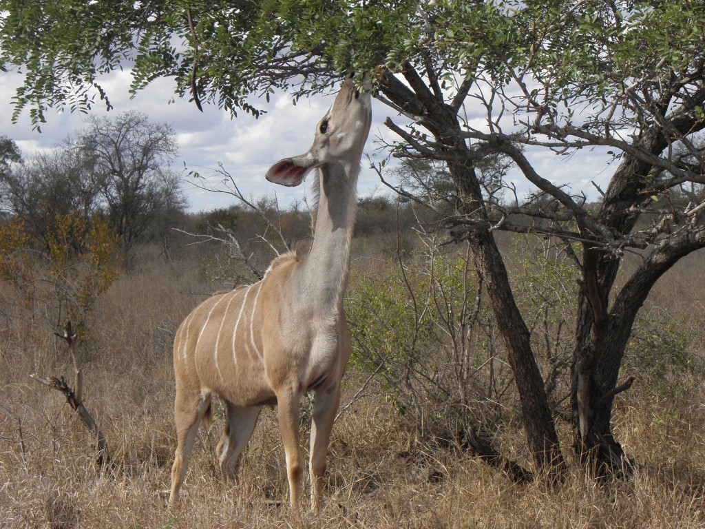 A female kudu reaching up for levels