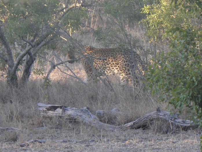 On my last journey out of Tamboti a leopard crossed the road in front of me and headed off into the bush