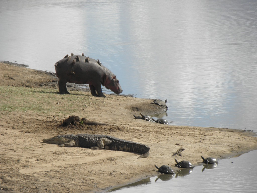 Hippo with ox-peckers of back, crocodile and terrapins