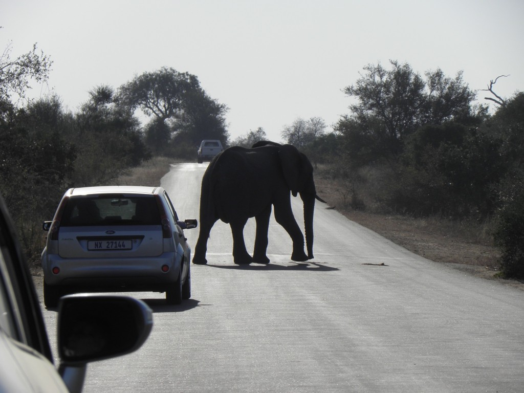 Elephants have right of way! Well, so do all wildlife in Kruger, but some elephants really know how t enforce it.