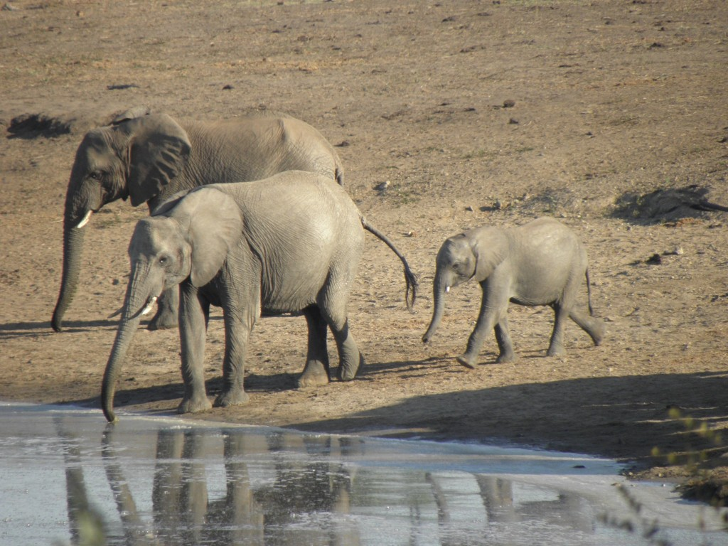 Elephants come to drink at the dam. This is part of a breeding herd of about 20 elephants