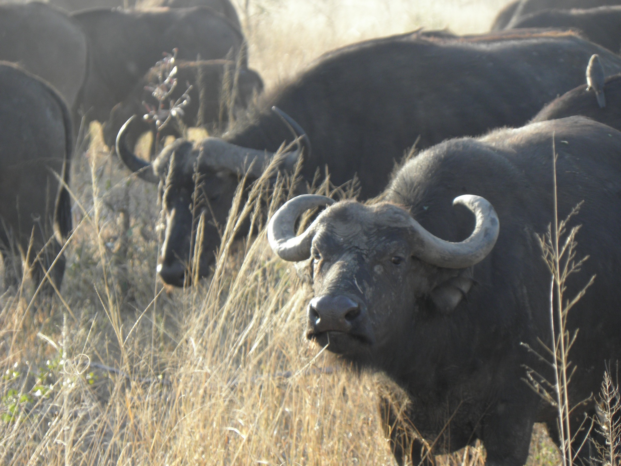 I drove cautiously past a big herd of Buffalo on my way south from Satara, Kruger NP
