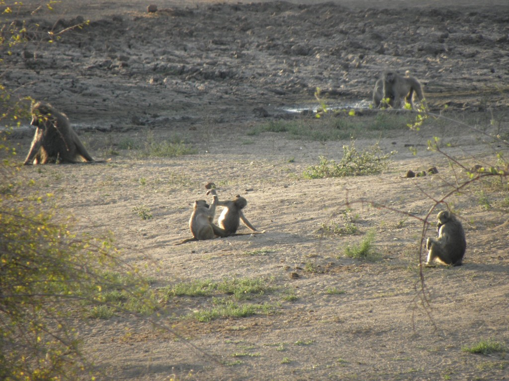 Many others, including these baboons, came down for a drink - also giraffes zebras wildebeest, waterbucks and impalas