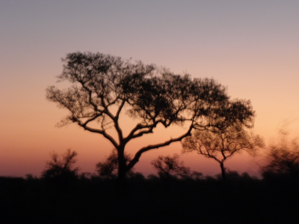 A marula tree in the sunset