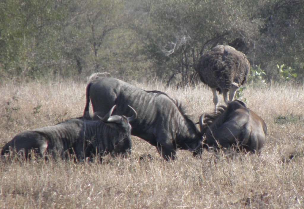 His mate nearby seemed intent on watching an apparent play fight between two wildebeest