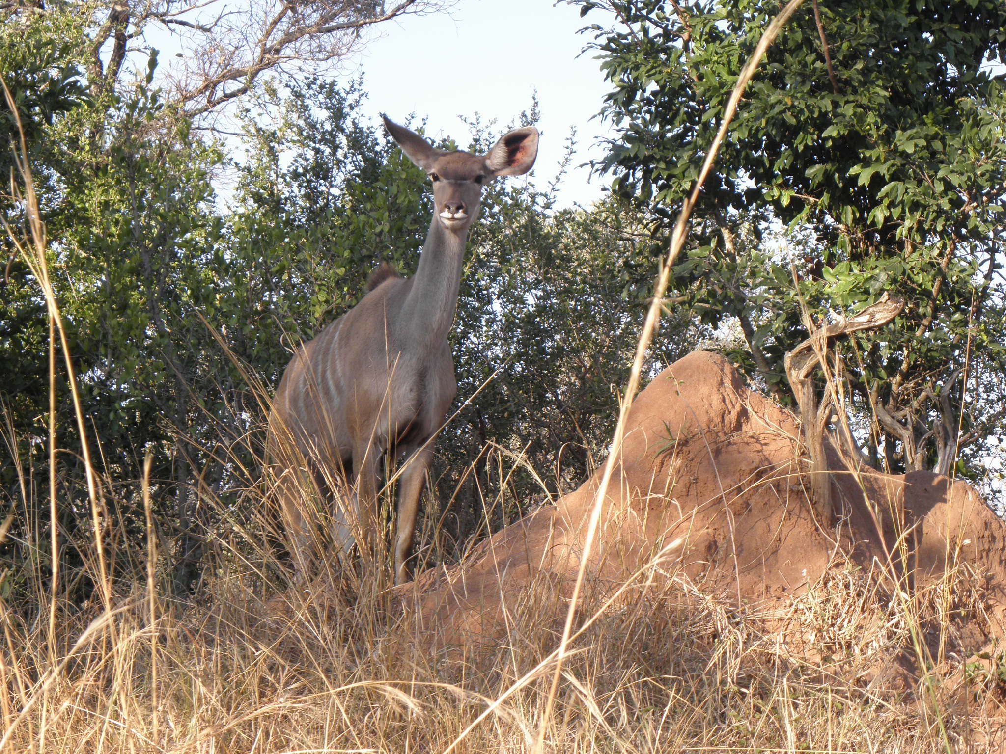Kudu are the most common browsers in the Pretoriaskop region. Beautiful animals!