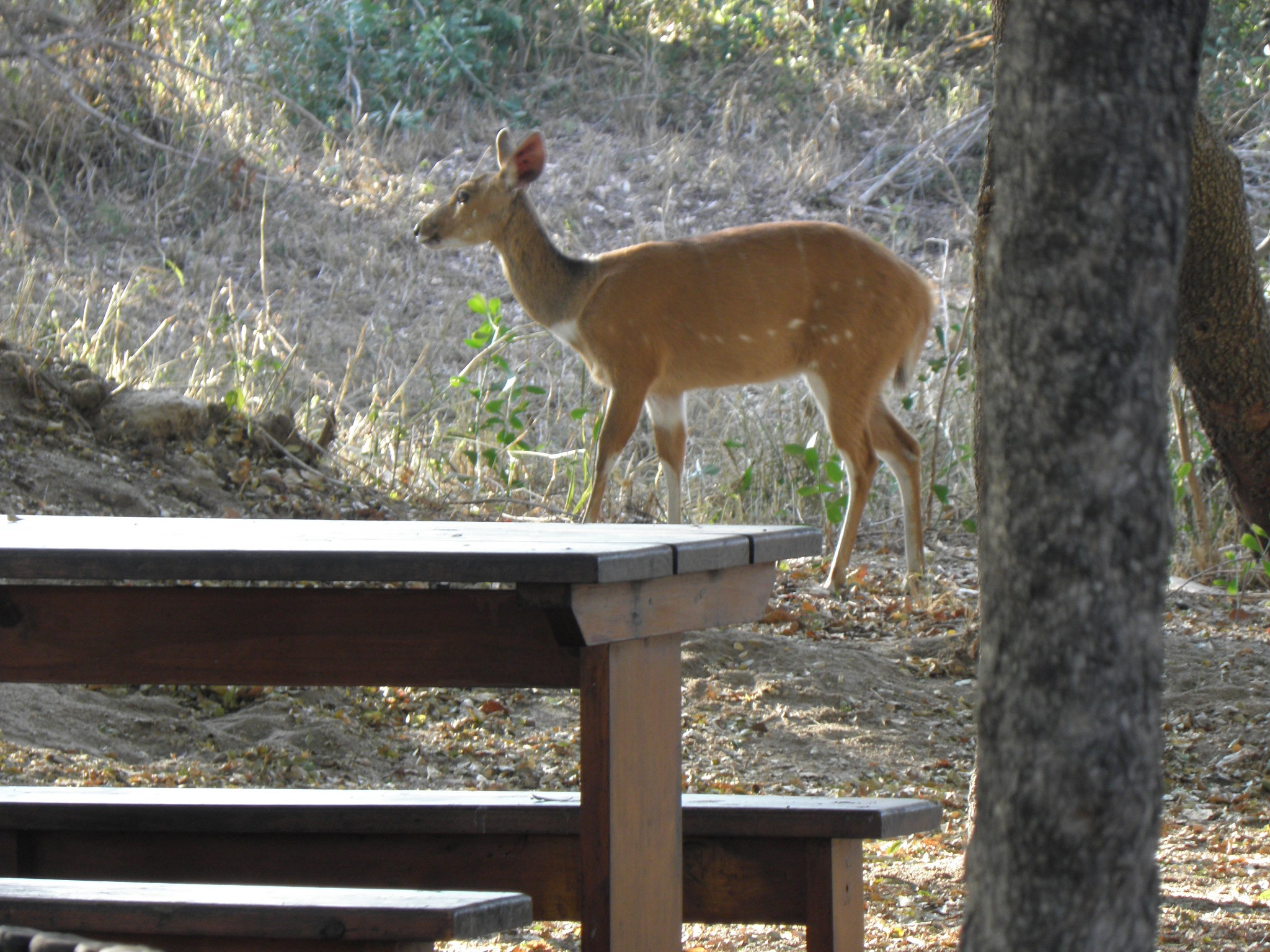 A bushbuck was wandering around the picnic area at Asfaal. I was told an elephant wandered in one day!