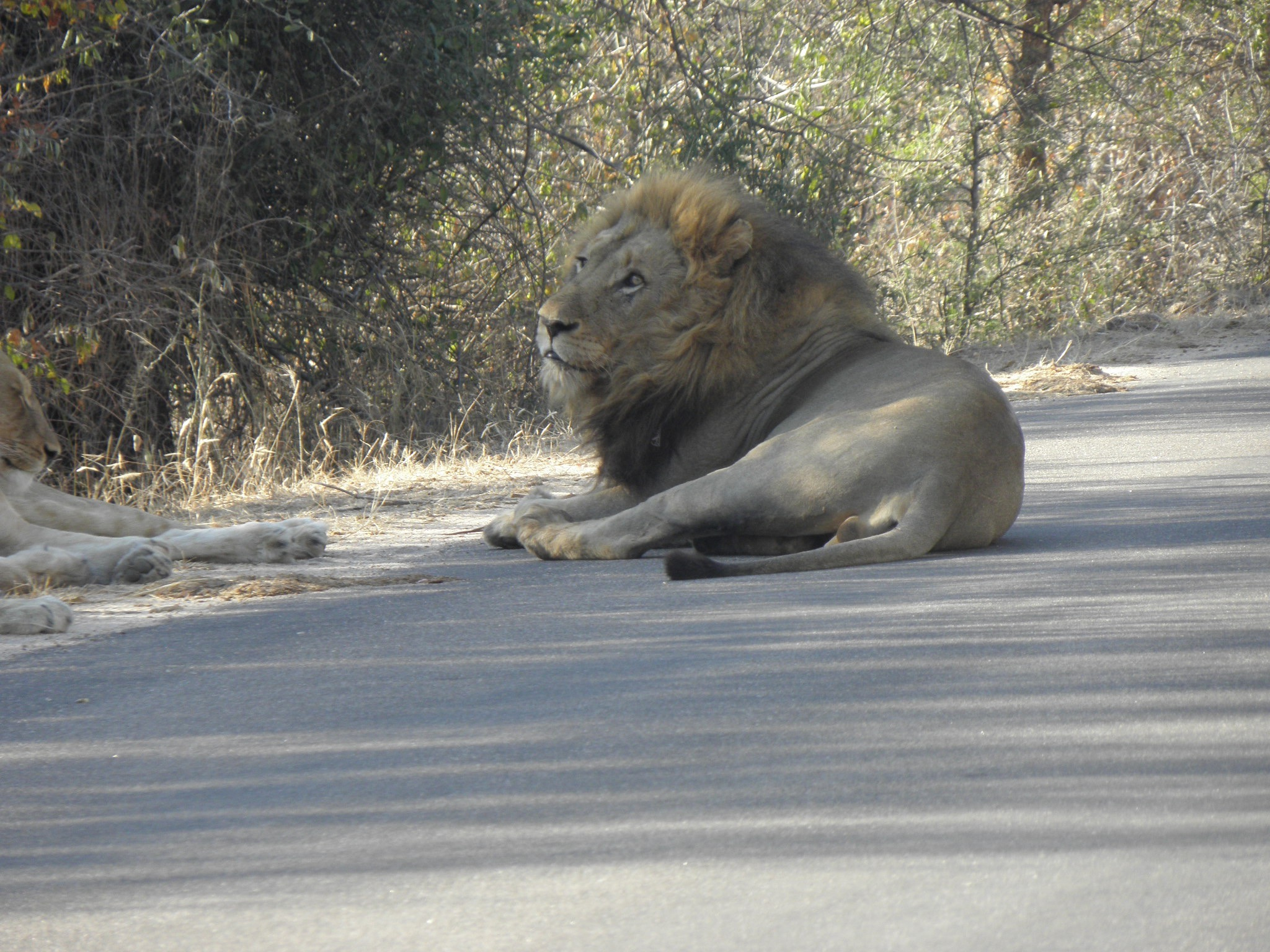 Kruger lions by road