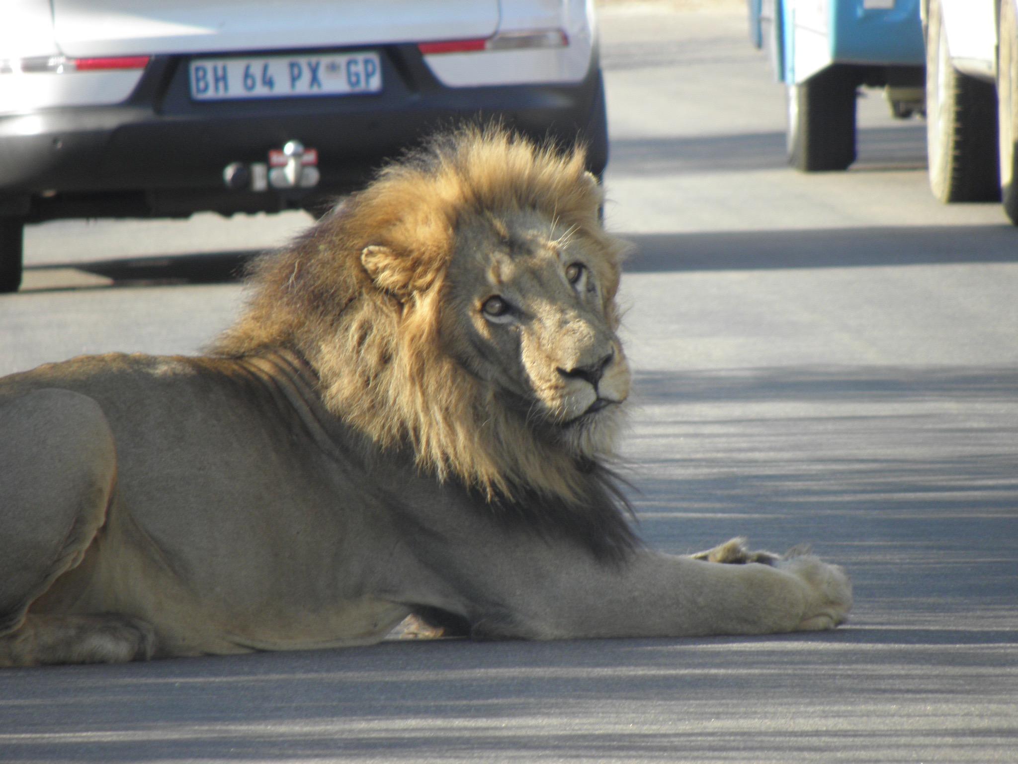 Kruger8lionon road