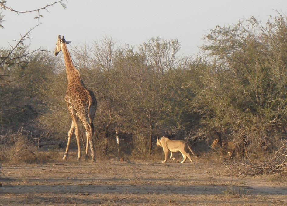 Kruger lions stalk giraffe