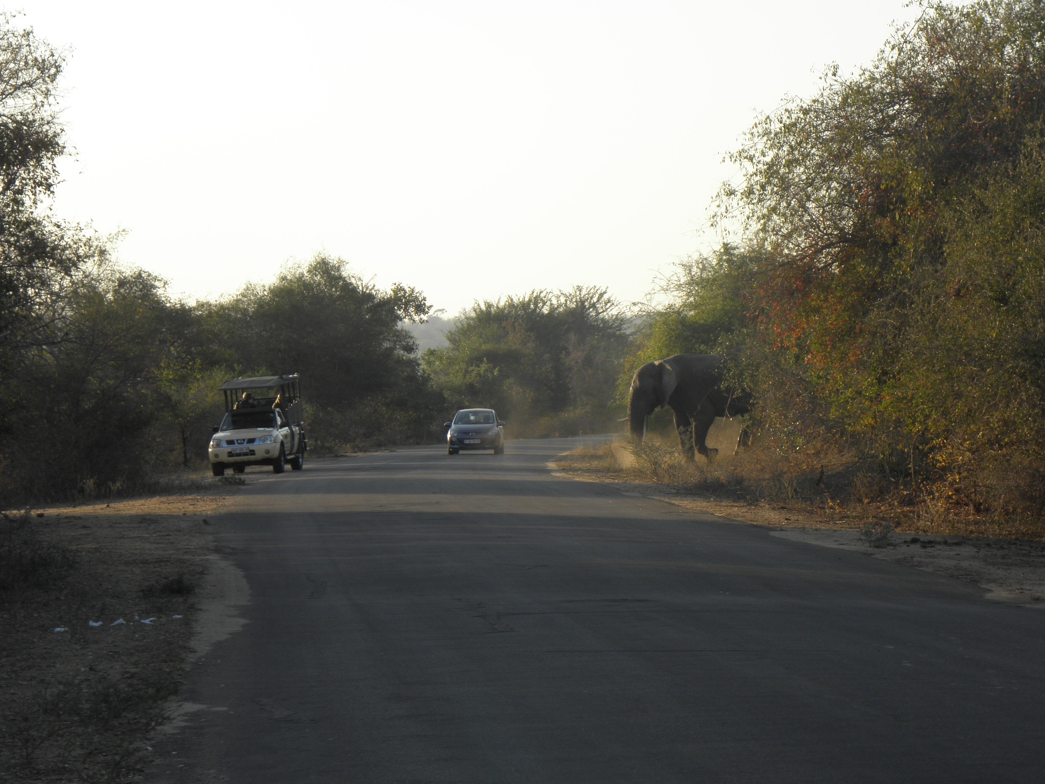 This elephant was n a really bad mood. Ear-flapping is a warning, but ears flattened against the head and the trunk curled up could mean a serious attack is imminent.  I decided to go back the other way, and warned other motorists heading in that direction