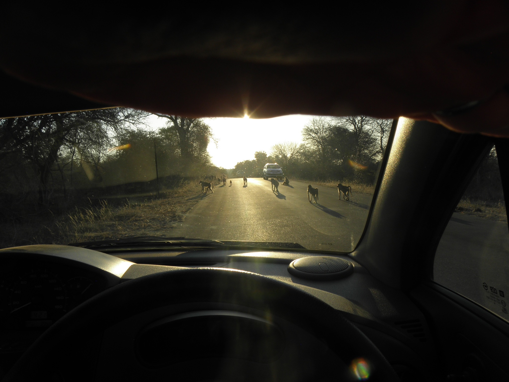 Kruger babooons on road