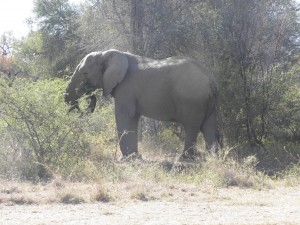 One last elephant by the roadside on my way out of Kruger. A good-tempered one this time, just quietly feeding.