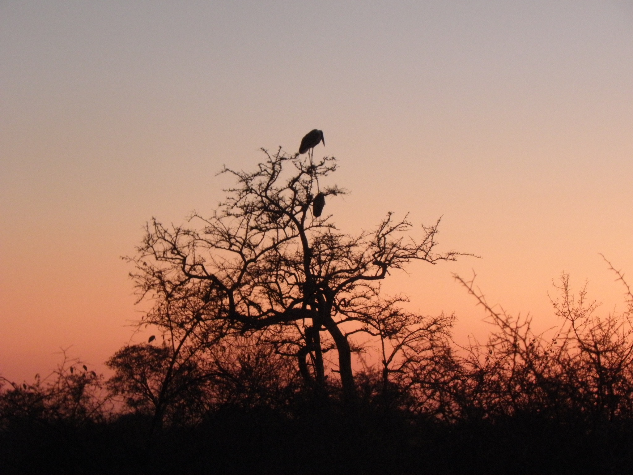 A marabou stork gains the sunrise on my final morning in Kruger