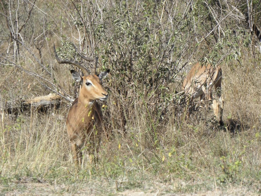 Impala near Kruger Gate