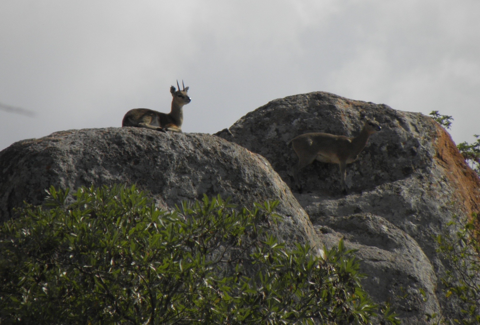 This is an animal I'd missed out on on both previous visits.  The little Klipspringer, a tiny antelope that lives in much the same habitat as our rock wallabies and apparently just as good at dashing up steep cliffs