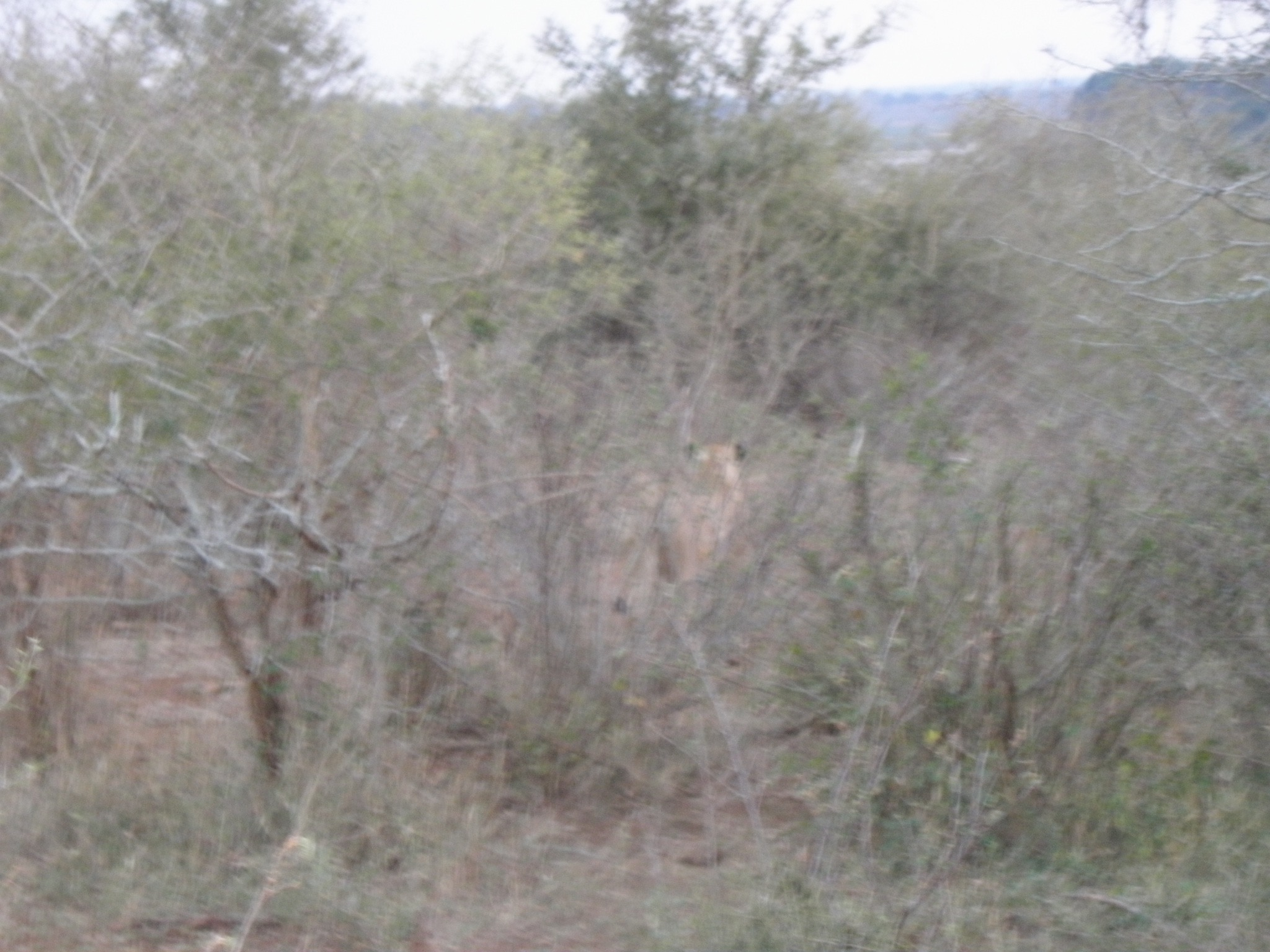 I was thrilled to see two lionesses just after dawn