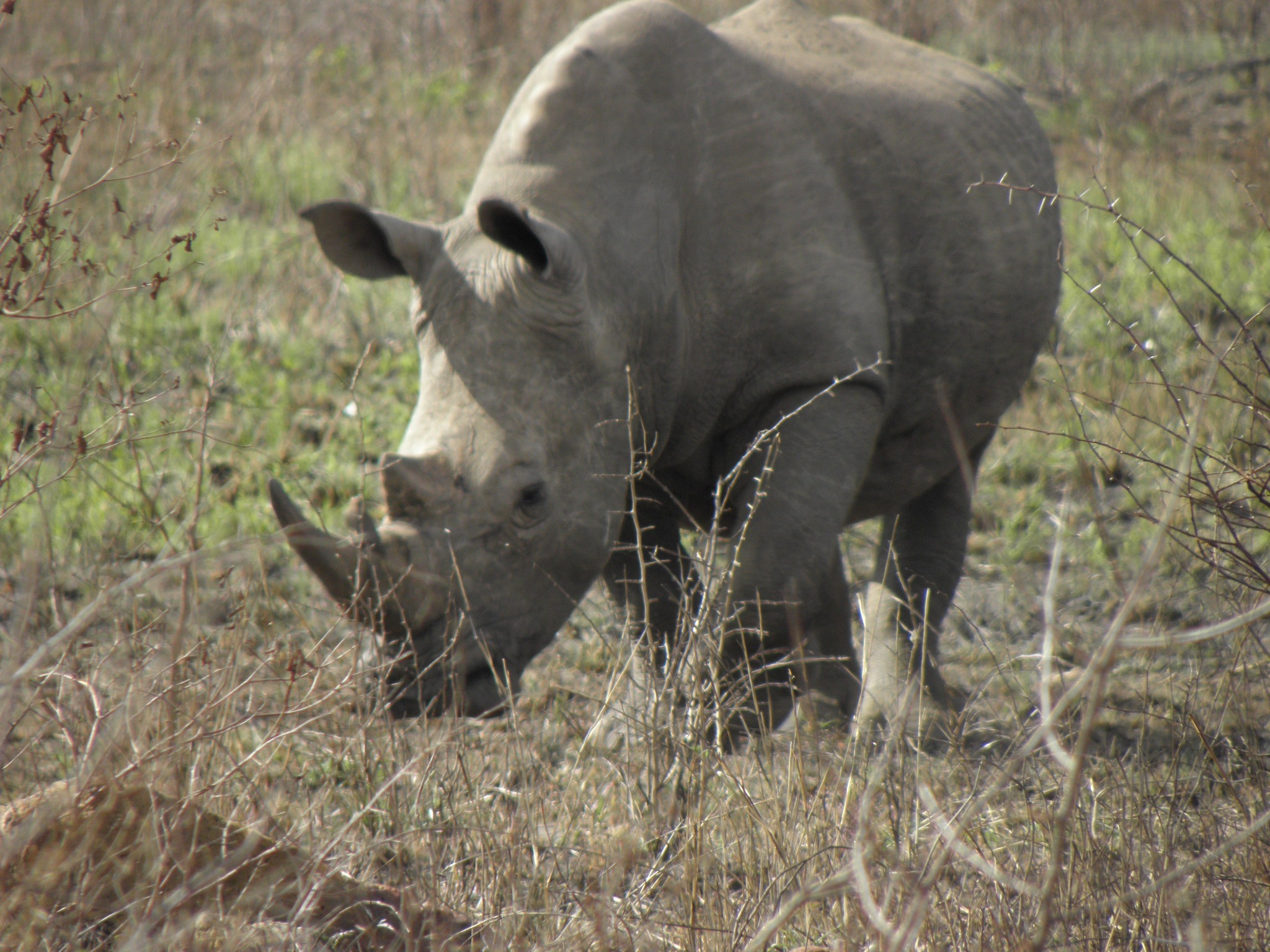 White rhino near Lower Sabie.  The name is a misnomer, the British misunderstanding the Boer word for 'wide.' It is a grazer, with a wide mouth. The ;black' rhino has a narrow mouth and browses on leaves of shrubs and trees.