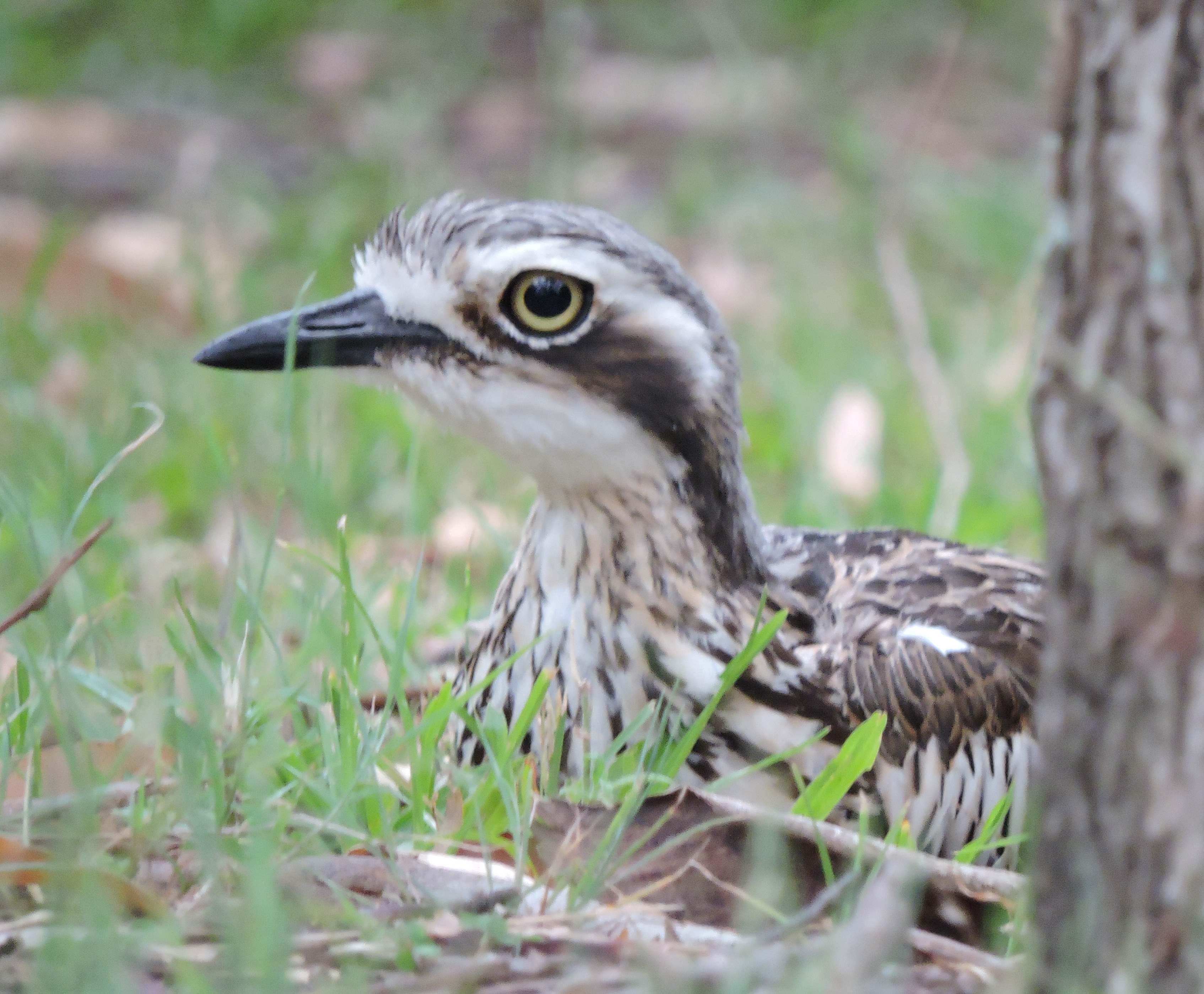There are plenty of bush stone-curlews wandering around the island, and their weird, wild calls at night add to the atmosphere.