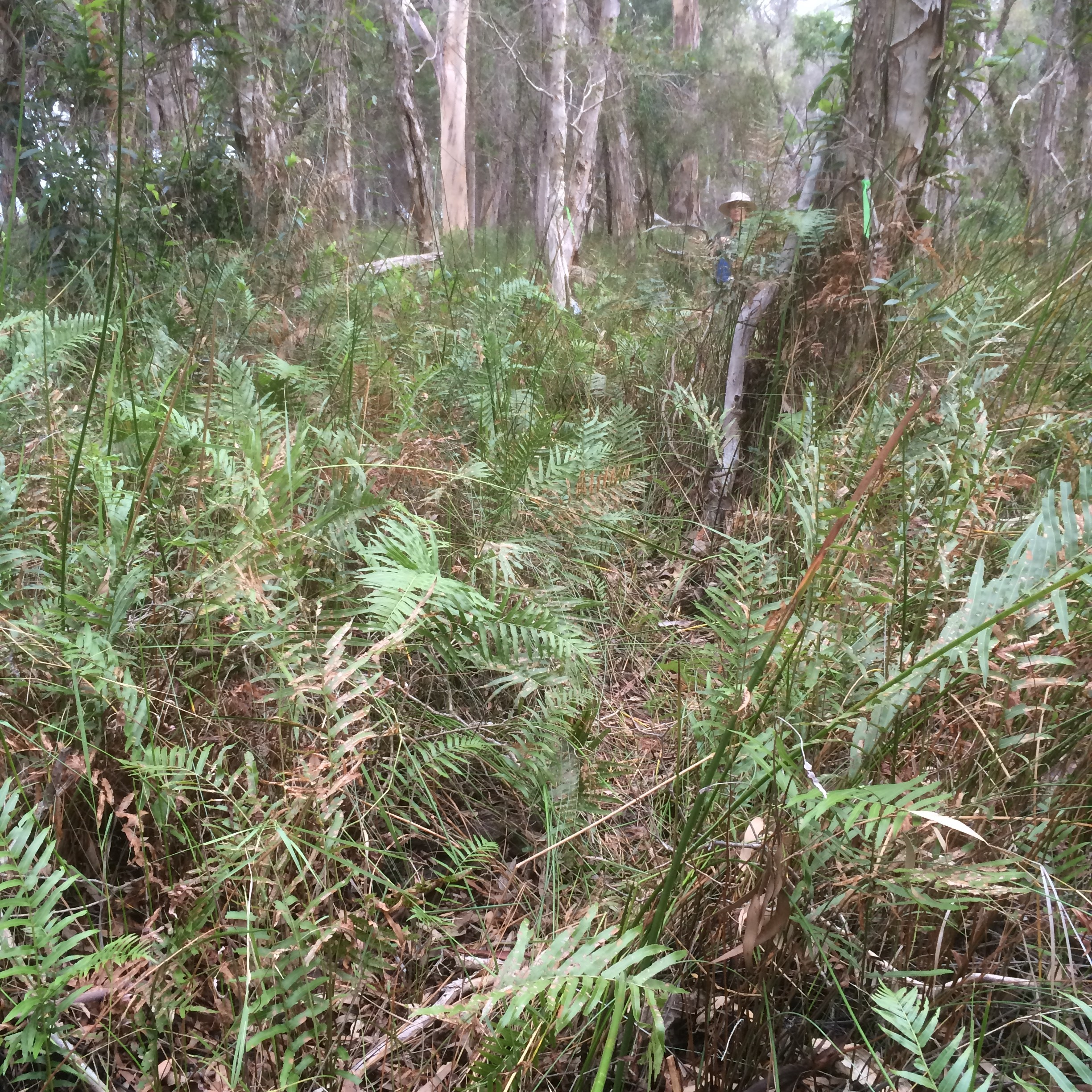 Exploring the Wetlands. Tea-tree wetlands have disappeared from much of their former range on the mainland.