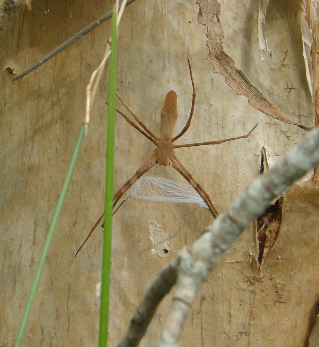 A net-casting spider. Instead of sitting in a large web they make a small one to throw over their prey.
