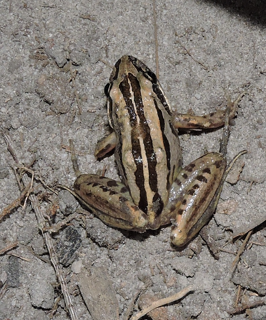 Striped marshfrogs were plentiful at night.