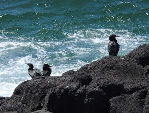 Little Black Cormorants at Fingal