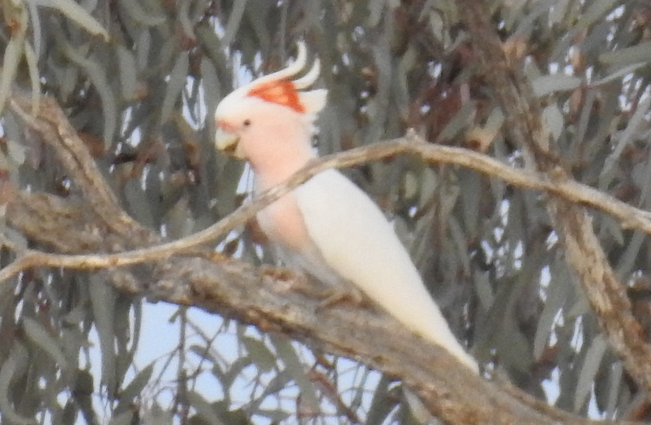 Major Mitchell Cockatoo. They are regular dawn visitors to the waterhole.