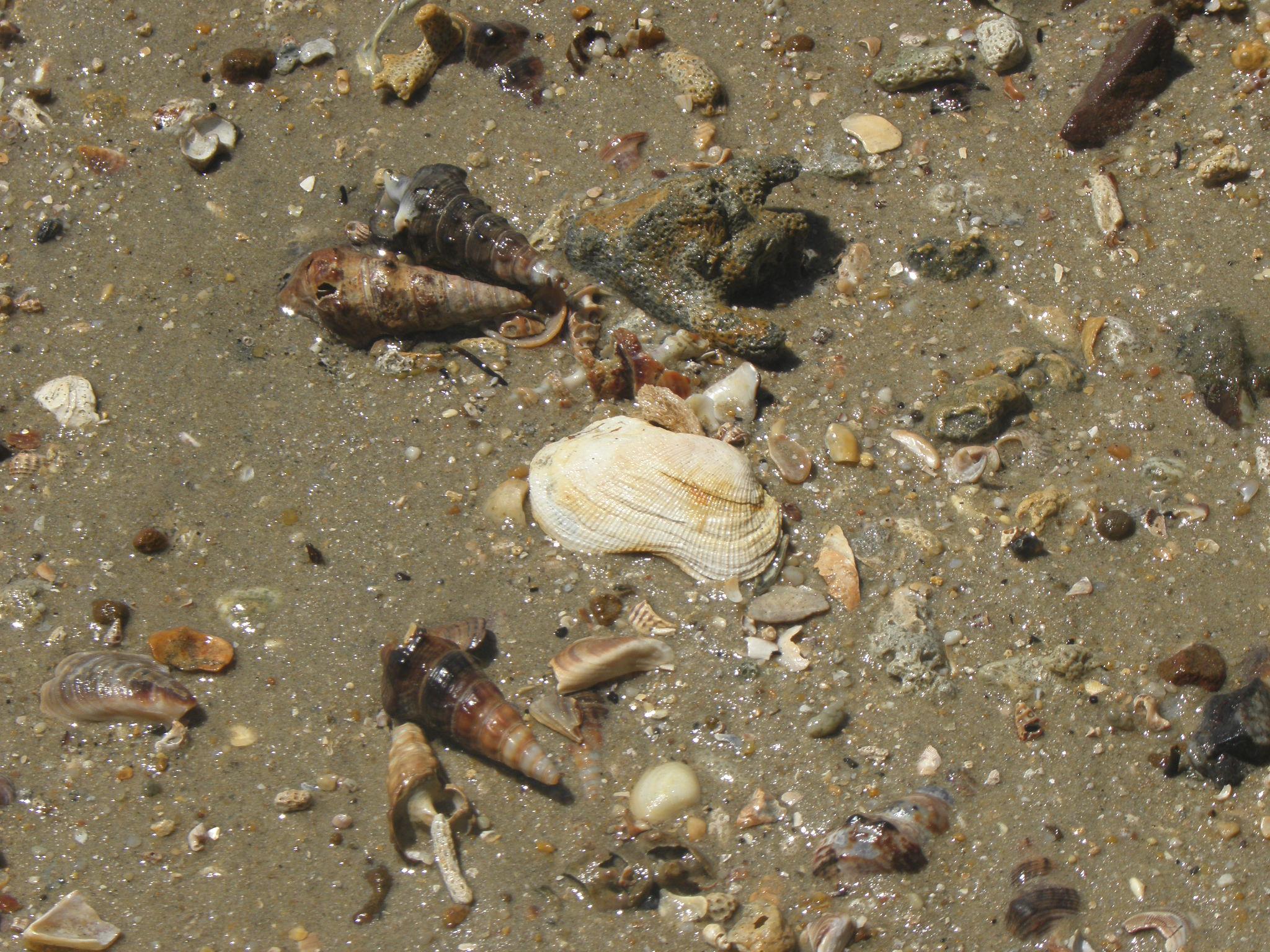 shells-closeup-Coochie