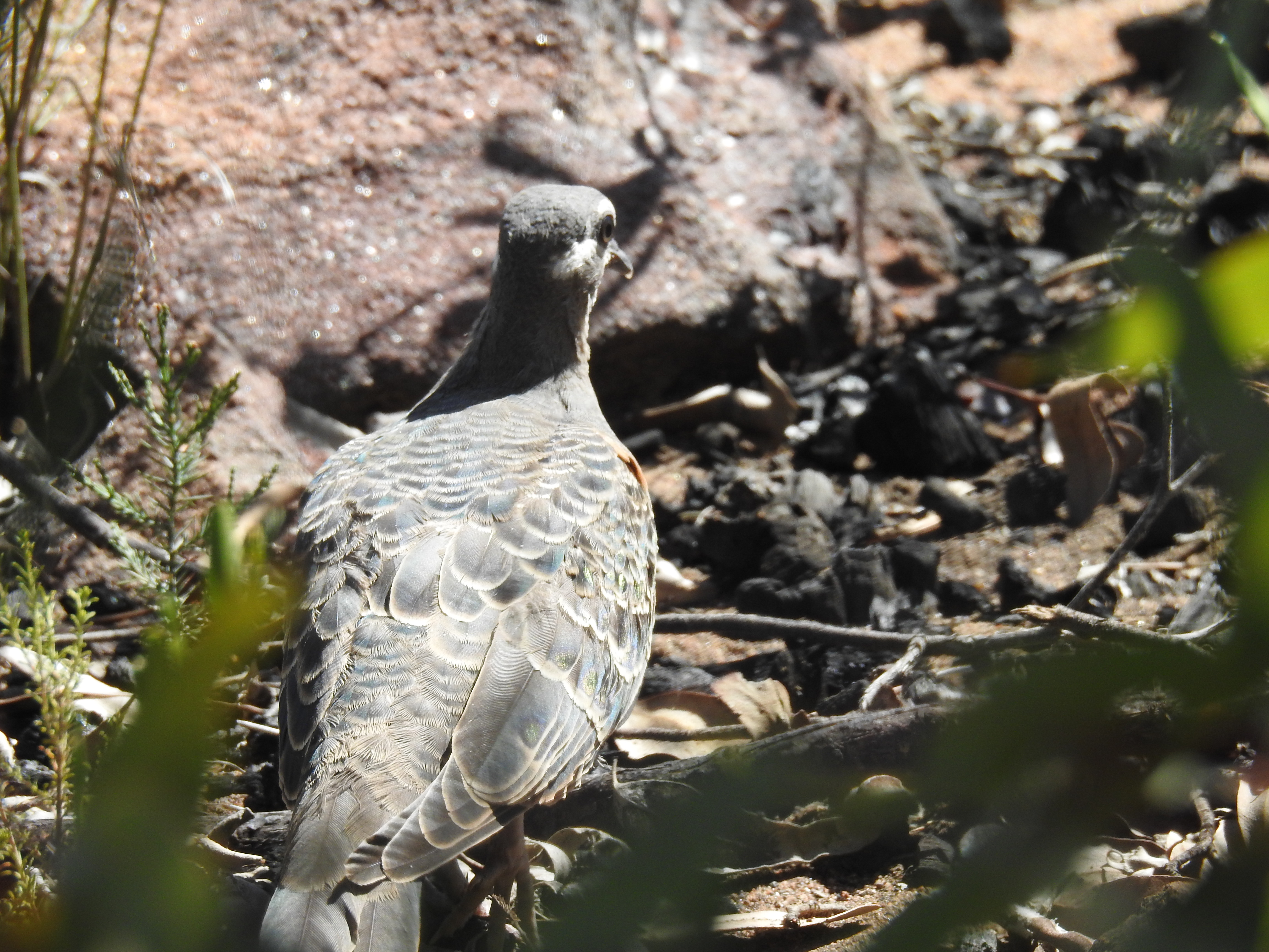 Bronzewing-Pillaga