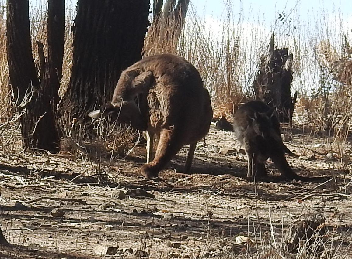 KangaroosGroomingWilpena