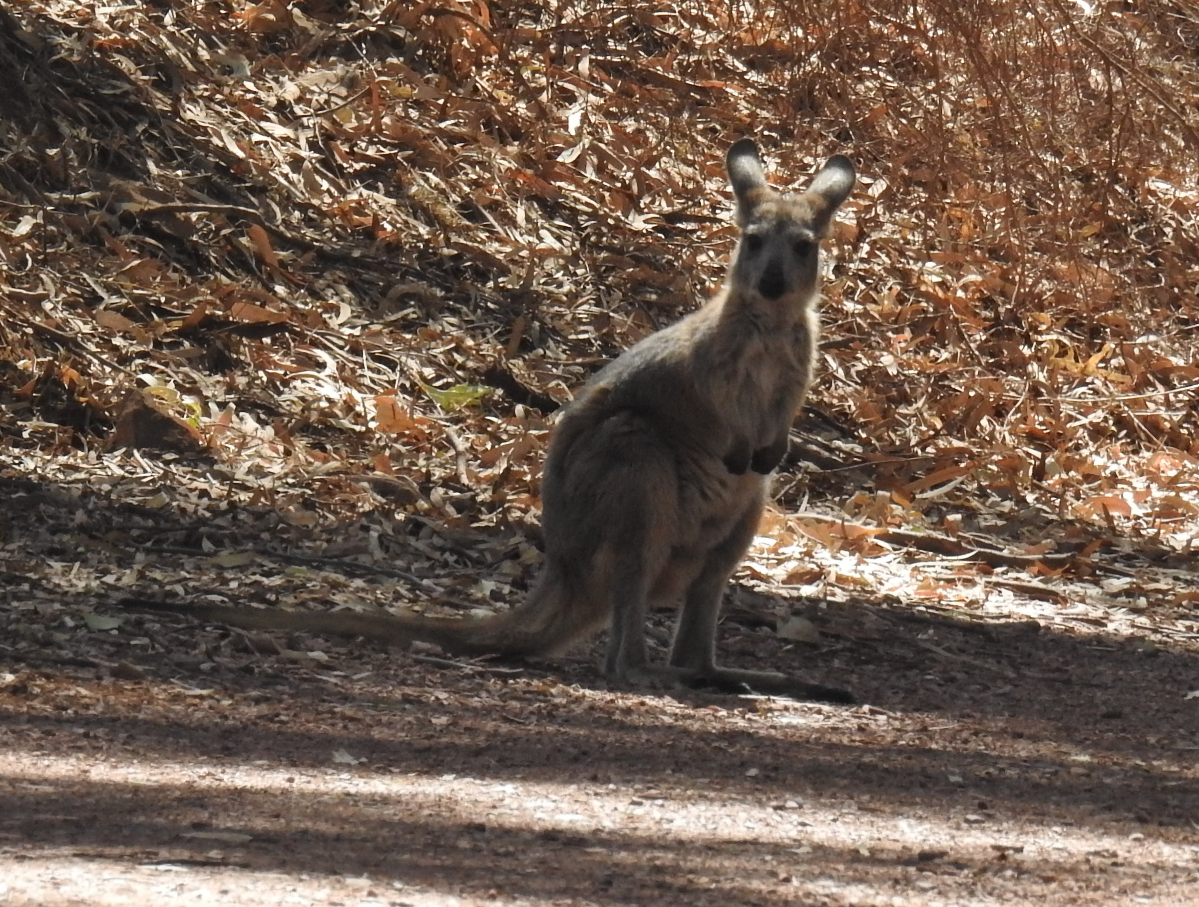 WallabyWilpena